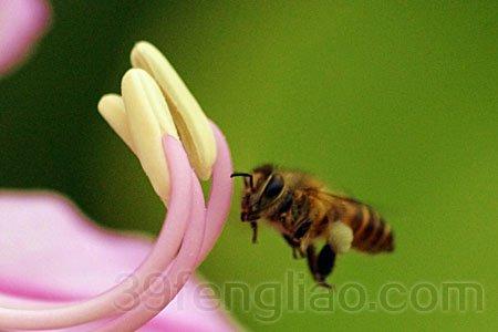 人们的身体健康,因此,利用蜜蜂授粉的经济效益显著