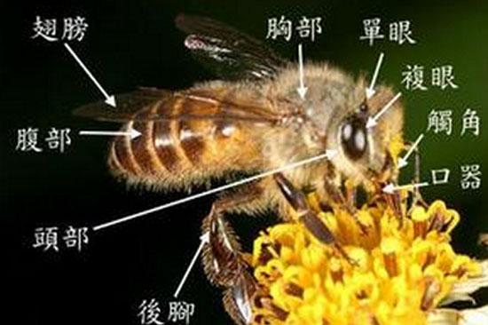 蜜蜂的身体结构和抗感染能力的关系
